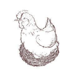 Farm chicken hand draw vector