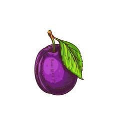 Purple plum fruit isolated sketch damson prune vector