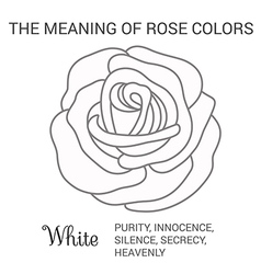 white rose infographics vector image