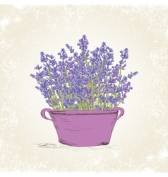 Lavender in the pot vector image vector image