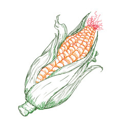 vegetable hand draw vector image vector image