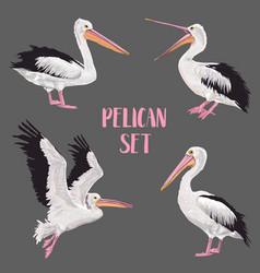 pelican birds set animals in wild seabirds vector image