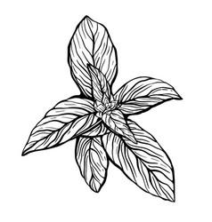 A sprig basil sprig basil vector