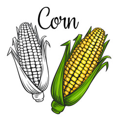 corn drawing icon vector image