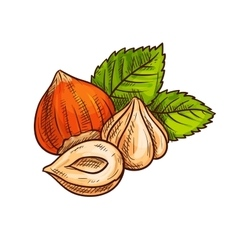 Hazelnut with green leaves sketch vector image