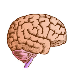 head organ human brain side view vintage color vector image