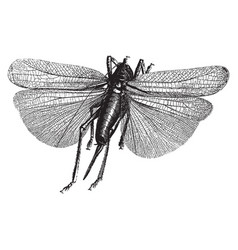 insect engraving vector image