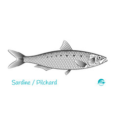 pilchard hand-drawn vector image