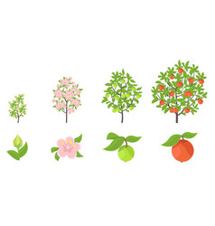 apple tree growth stages vector image