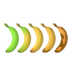 Banana fruit ripeness levels from green underripe vector