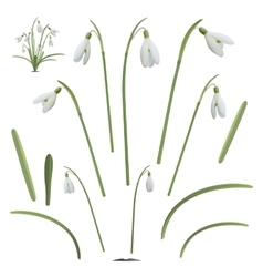 Set of snowdrop flowers elements vector