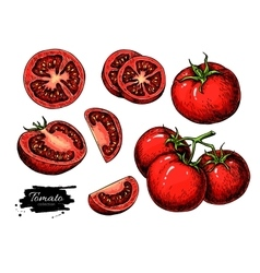 Tomato drawing set Isolated tomato sliced vector image