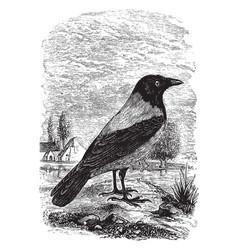 Hooded crow of europe vintage vector