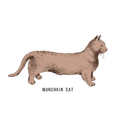 hand drawn munchkin cat vector image