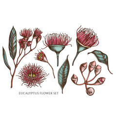 collection hand drawn colored eucalyptus vector image