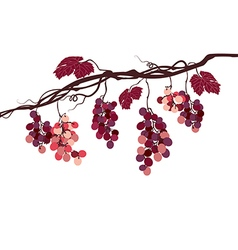 Vine with pink grapes vector