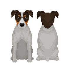 Flat of sitting jack russell vector