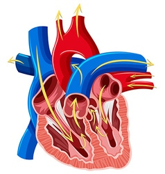 Diagram of inside of heart vector image