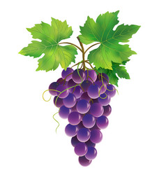 Purple grape on white background vector