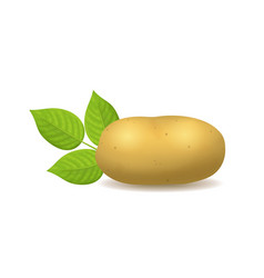 Realistic detailed 3d whole potato vector