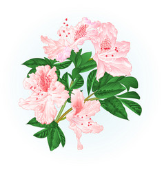 Shrub rhododendron light pink twig with flowers vector