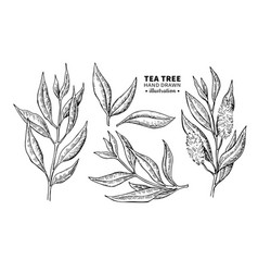 Tea tree drawing isolated vintage vector