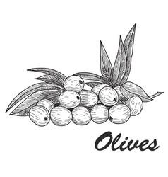 black ink hand drawn olive twig vector image