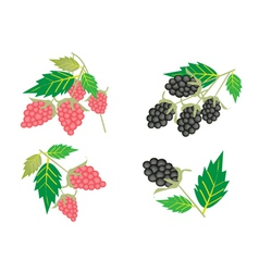 Set of Raspberry and Blackberry vector image vector image