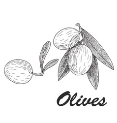 black ink hand drawn olive twig vector image