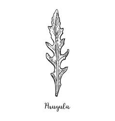 Ink sketch of arugula vector