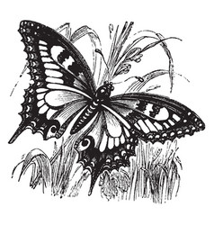Swallowtail butterfly vintage vector