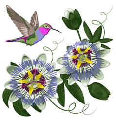 hummingbird and passiflora vector image