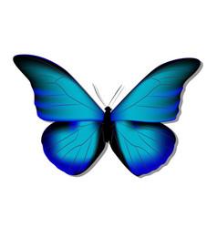 Morpho butterfly blue morph on white background vector