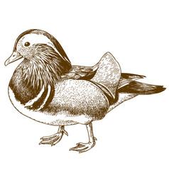 Engraving drawing of mandarin duck vector