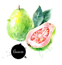 Watercolor hand drawn guava fruit painted sketch vector
