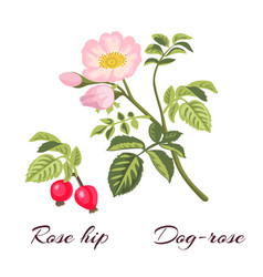 Dog rose flowers and rose hips vector