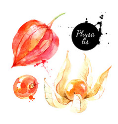 watercolor hand drawn physalis berry fruit vector image