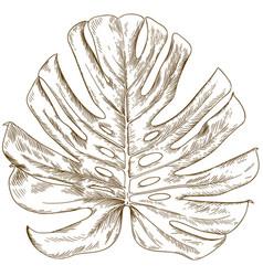 Engraving drawing monstera leaf vector