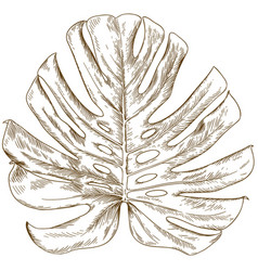 Engraving drawing of monstera leaf vector