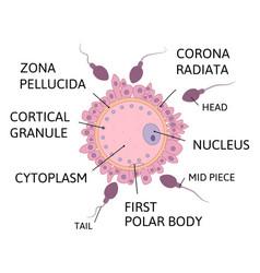Sperm fertilizes egg anatomy vector