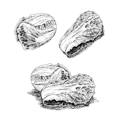 Hand drawn set of chinese cabbage sketch vector