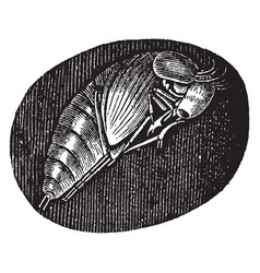 Pupa of the hydrophilus piceus vintage vector