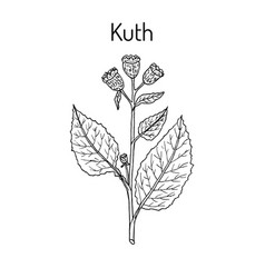 Saussurea costus or kuth medicinal plant vector