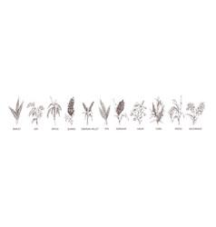 Set cereal plants crops barley rye corn vector