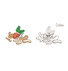 colored and monochrome drawings of cashew with vector image