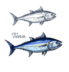 tuna fish sketch with atlantic bluefin tunny vector image