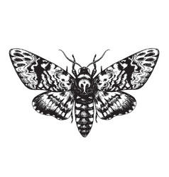 hand drawn butterfly acherontia styx vector image