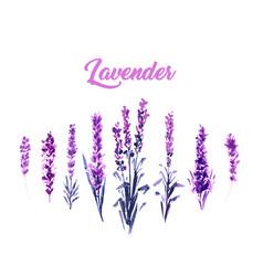Watercolor or aquarelle paintings lavender vector