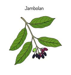 Jambolan syzygium cumini or java plum medicinal vector
