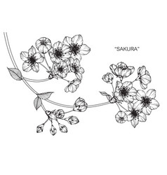 sakura flower drawing vector image